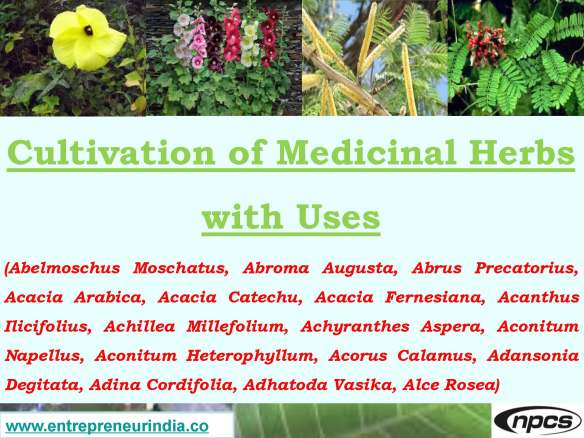 Cultivation Of Medicinal Herbs With Uses Abelmoschus Moschatus